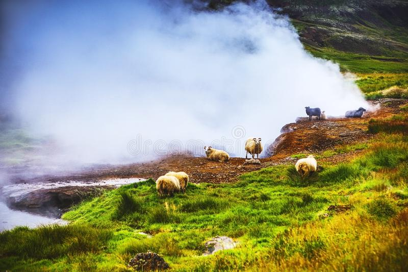 Sceniczne Islandzkie łąki z caklami i baranami w krajobrazowych polach obraz stock