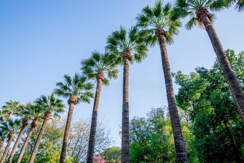 Sceniczni wysocy drzewka palmowe w Nikozja miasta jawnym parku obrazy royalty free