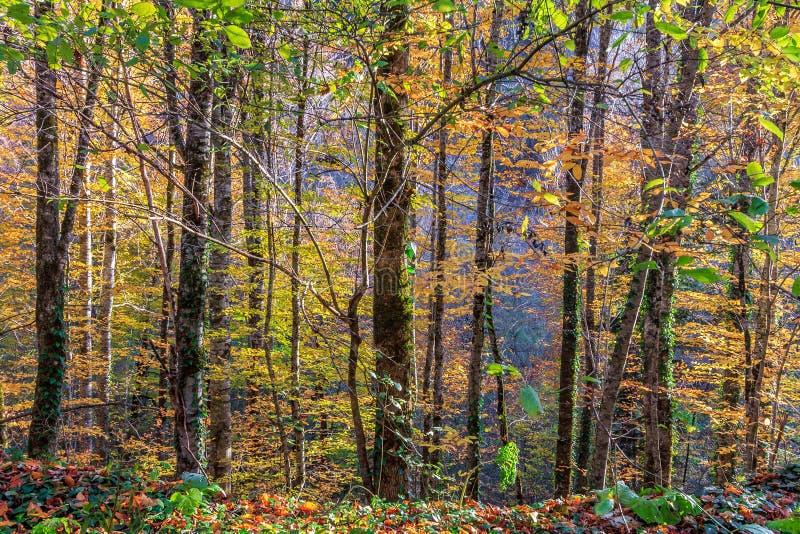 Sceniczny krajobraz pogodny jesień las sosny na niebieskiego nieba tle obraz stock