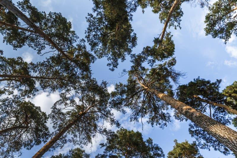 Sceniczny widok bardzo wysoki i duży drzewo w lesie w morni zdjęcie stock