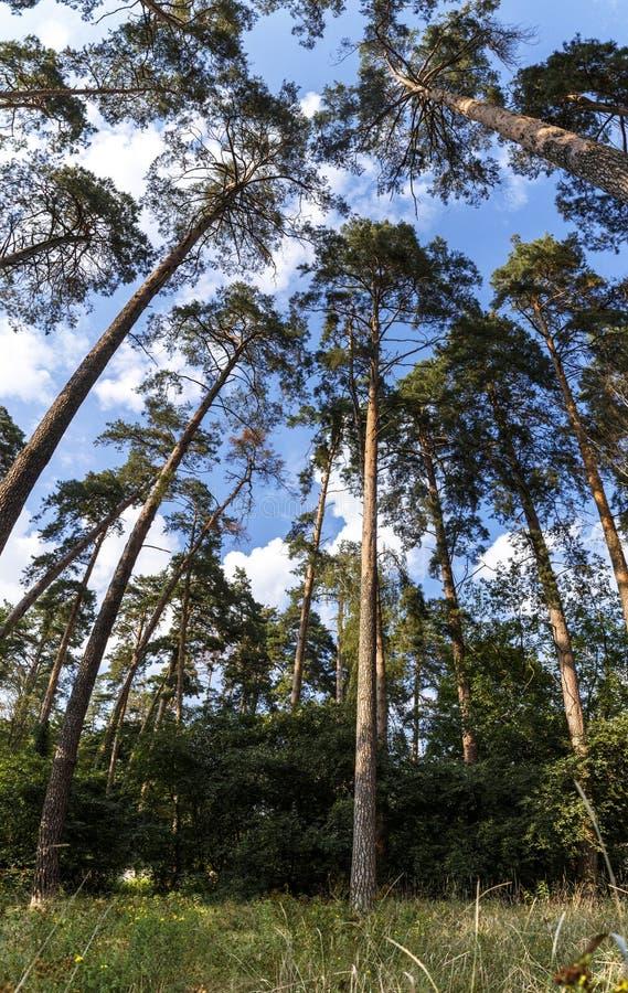 Sceniczny widok bardzo wysoki i duży drzewo w lesie w morni zdjęcia royalty free