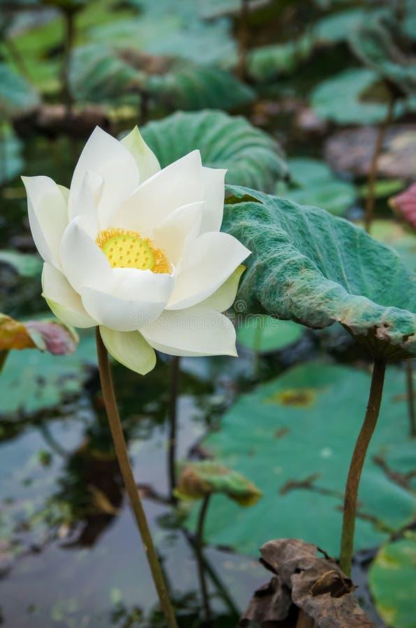 Sceniczny widok biały lotosowy kwiat w stawie obrazy stock