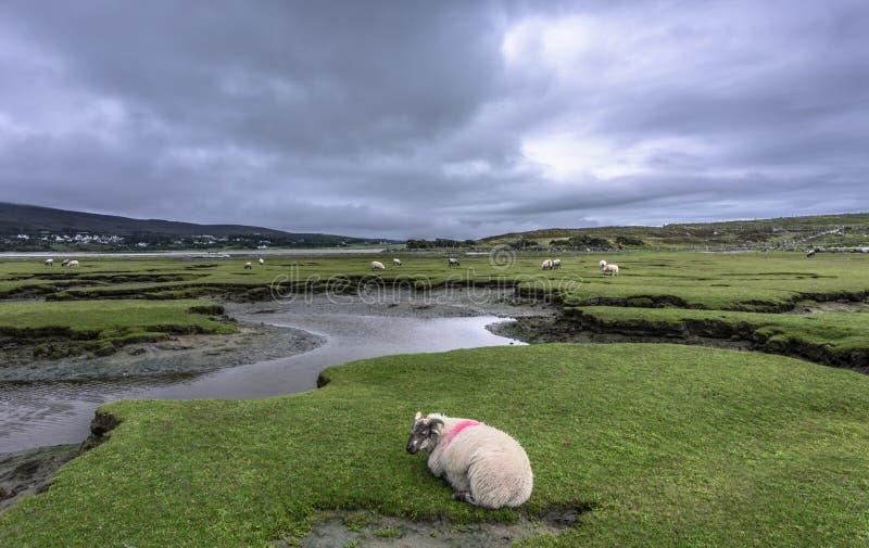 Sceniczny widok cakle na zielonej łące, Achill wyspa, okręg administracyjny Mayo, Irlandia zdjęcie stock