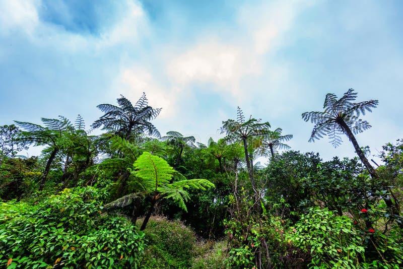 Sceniczny widok dżungla z gigantycznymi drzewnymi paprociami zdjęcia stock