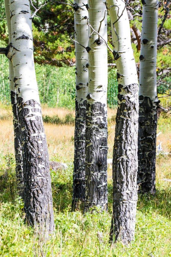 Sceniczny widok osikowi drzewa fotografia royalty free