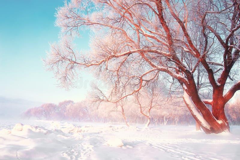 Sceniczny zimy tło Śnieżny mroźny drzewo na jaskrawym słonecznym dniu Naturalna scena po opadu śniegu Hoarfrost na gałąź drzewa obrazy stock