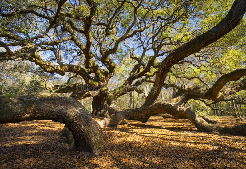 Scenisk södra natur för Carolina Lowcountry Angel Oak Tree charlestonSC arkivfoto