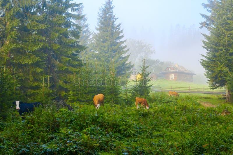 Scenisk sikt av det lantliga landskapet i Carpathian berg i den tidiga dimmiga morgonen nära Vorokhta, Ukraina royaltyfri fotografi