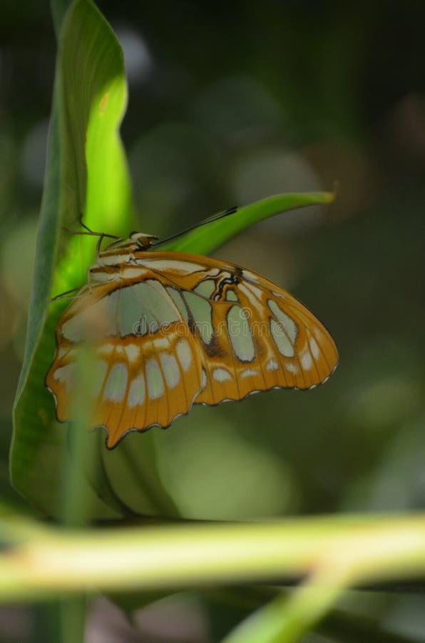 Scenisk sikt av en härlig malakitfjäril arkivbilder