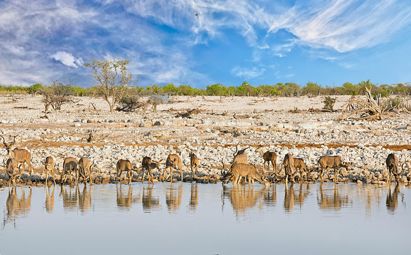 Scenisk sikt av Okaukeujo Waterhole i den Etosha nationalparken, med ett stort henne av större Kudu dricka royaltyfri fotografi