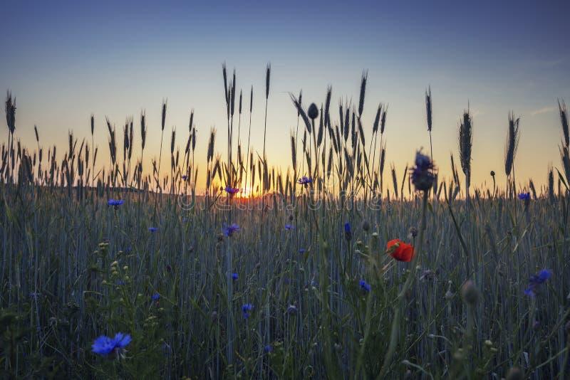 Scenisk solnedgång över sommarvetefält fotografering för bildbyråer