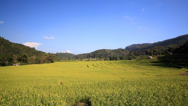 Download Sceniskt Av Mogen Rice Terrasserar På Mae Klang Luang Fotografering för Bildbyråer - Bild av växt, green: 27285857
