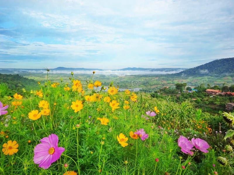 Sceniskt landskap av den färgglade kosmosblommaträdgården på kullen arkivfoto