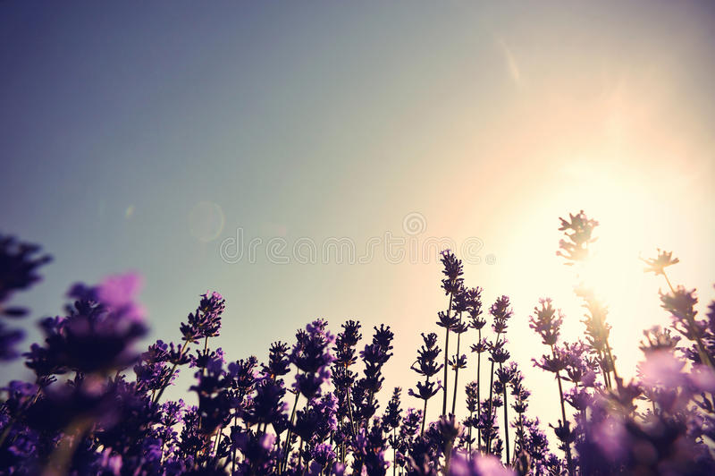 scented lavender flowers in growth at field stock photos