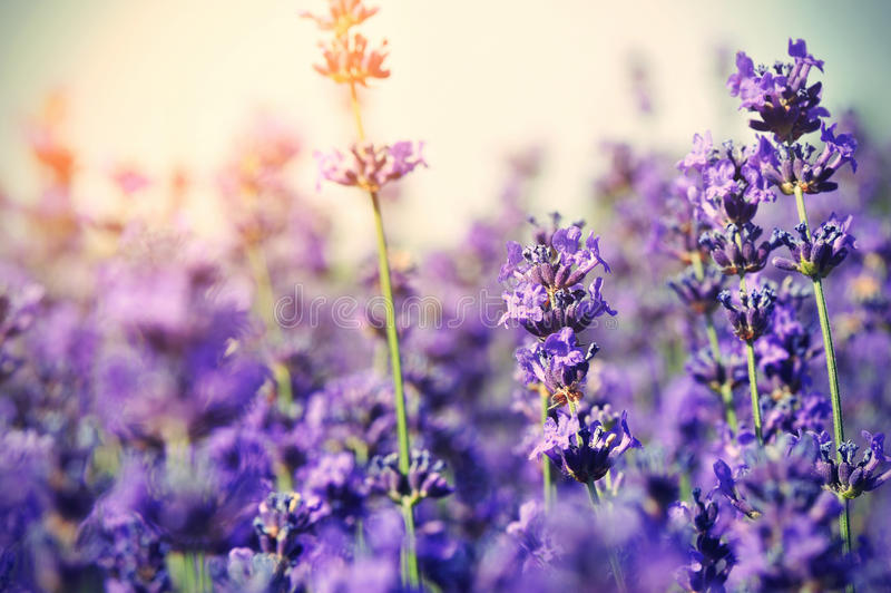 Scented lavender flowers in growth at field royalty free stock photo