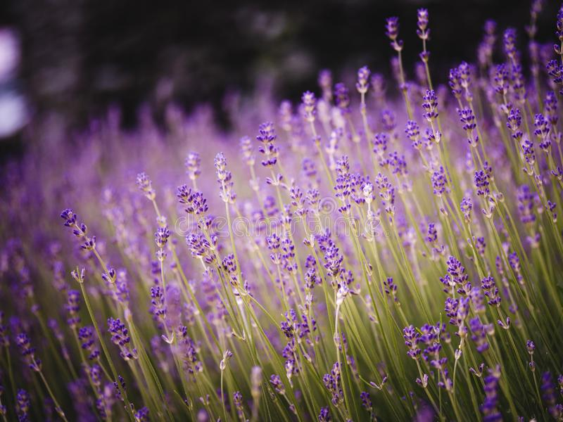 Scented lavender flowers in Provence field i stock photos