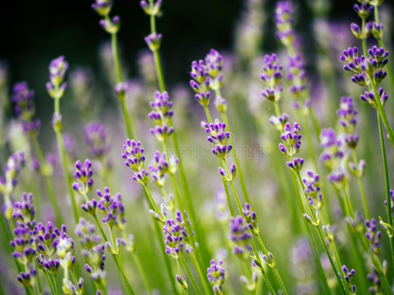 Scented lavender flowers in Provence field stock images
