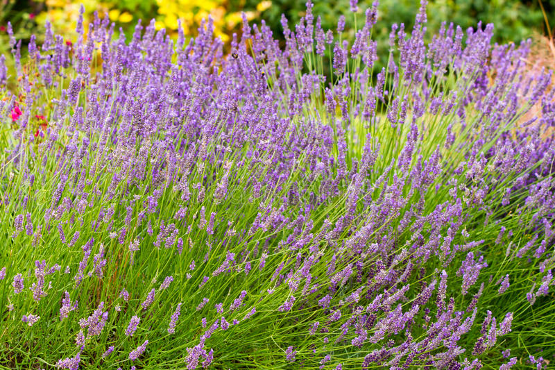 Scented lavender flowers stock image