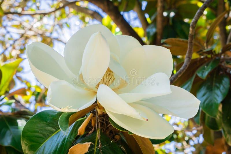 Scented Magnolia Grandiflora flower, California royalty free stock photo