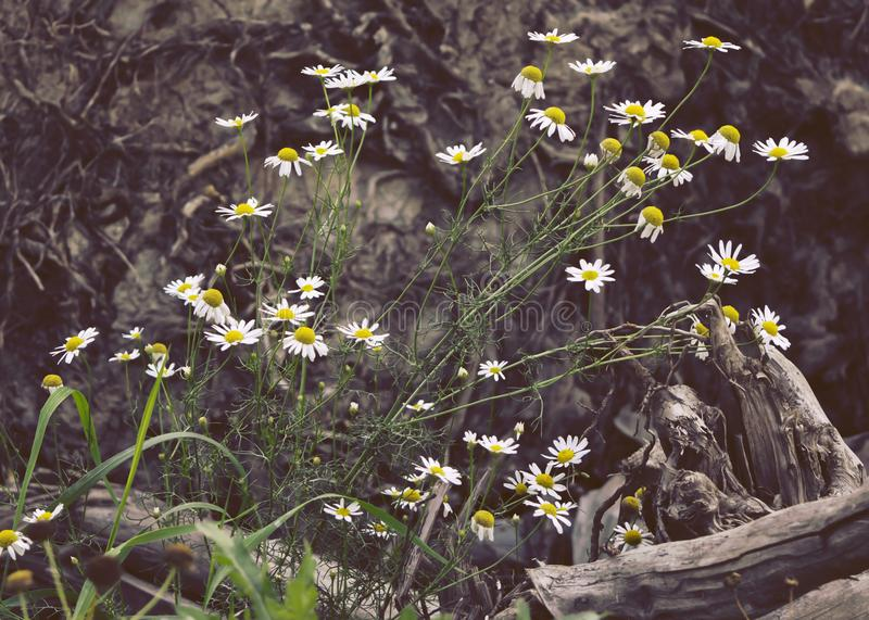 Scentless false mayweed stand in front of tree root. Large bush of Scentless false mayweed flowers, contrasting against an old, rough root from a fallen tree royalty free stock photos