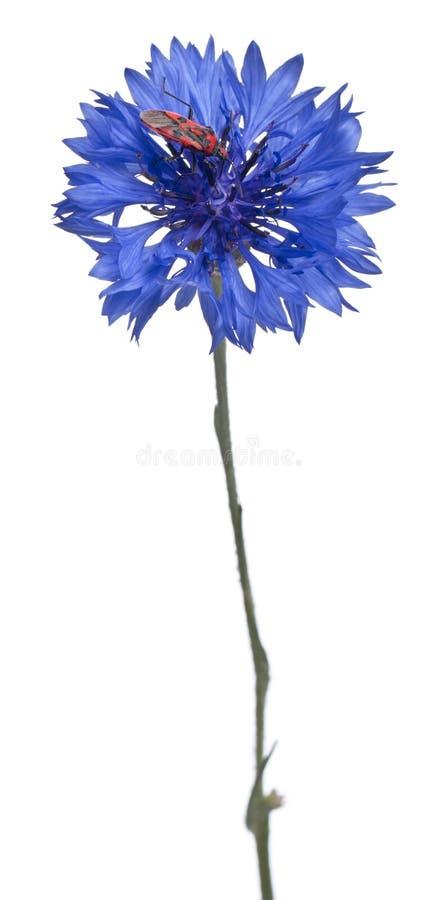 Download Scentless Plant Bug, Corizus Hyoscyami Stock Photo - Image: 21403228
