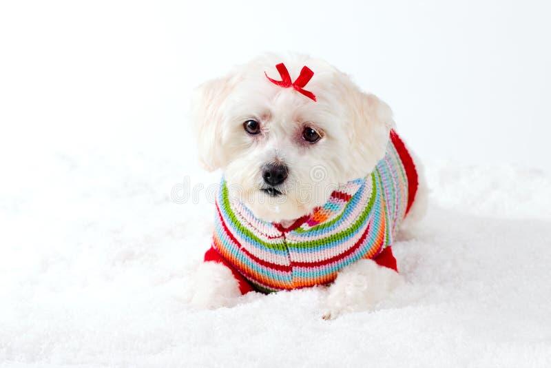 sceny psa mała biała zimy. obraz royalty free
