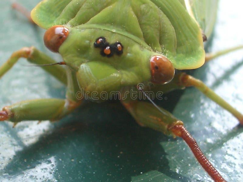 Schöne grüne Zikade mit großen braunen Augen lizenzfreie stockbilder