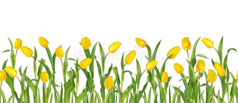 Schöne klare gelbe Tulpen auf langen Stämmen mit den grünen Blättern vereinbart in der nahtlosen Reihe Getrennt auf weißem Hinter lizenzfreie abbildung