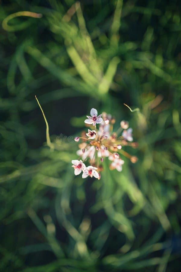 Schöne kleine weiße Blumen auf den Rasen lizenzfreie stockfotografie