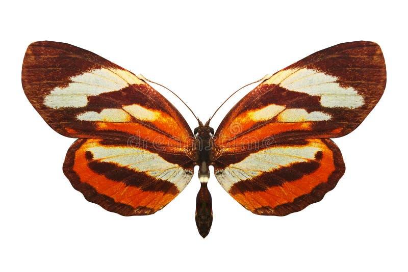 Schöne orange Basisrecheneinheit Zucht Nymphalis xanthomelas Getrennt auf weißem Hintergrund lizenzfreies stockbild