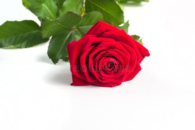 Schöne rote Rose Flower mit dem Stamm lokalisiert auf weißem Hintergrund Konzept für Hochzeit den 8. März mit Kopienraum lizenzfreie stockfotos