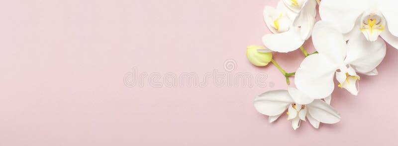 Schöne weiße Phalaenopsisorchideenblumen auf rosa flacher Pastelllage der Draufsicht des Hintergrundes Tropische Blume, Niederlas lizenzfreie stockfotos
