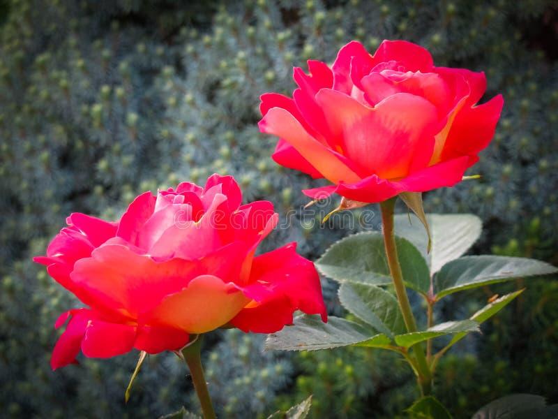 Schöne zwei rote Rosen im Garten an einem sonnigen Tag Ideal für Hintergrundgrußkarten lizenzfreies stockbild