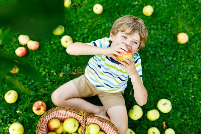 Schöner blonder glücklicher Kinderjunge, der draußen rote Äpfel auf Biohof, Herbst auswählt und isst Lustige kleine Vorschule stockfoto