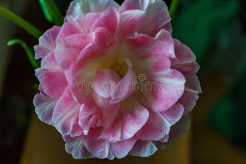 Schöner Blumenstrauß von leicht rosa Terry-Tulpen lizenzfreie stockbilder