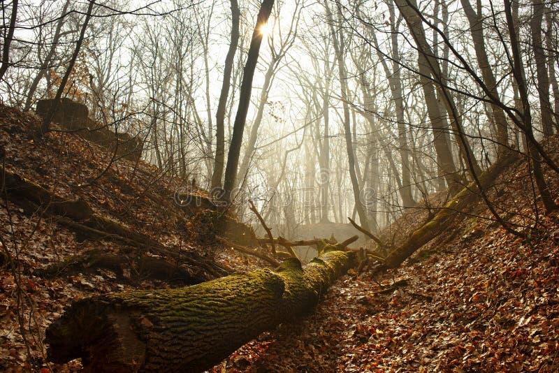 Schöner nebeliger bloßer Wald mit Sonnenstrahl und einem moosigen gefallenen LOGON der Vordergrund stockbild