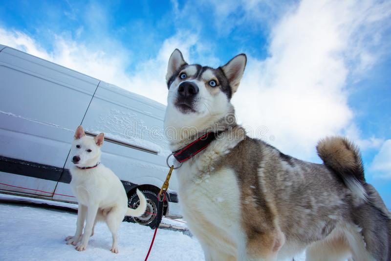 Schöner Schlittenhund zwei Zwei großartige Schlittenhunde auf dem Hintergrund des weißen Schnees und des blauen Himmels stockbild