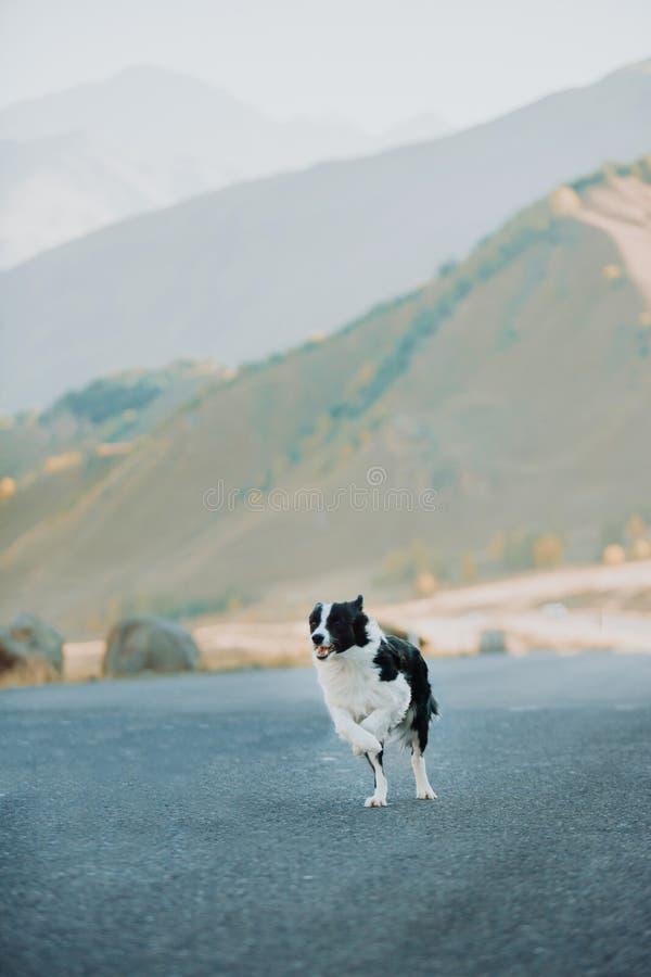 Schöner Schwarzweiss-Hund border collie, das auf der Straße in der Wüste um den Berg läuft Raum für Text stockfoto