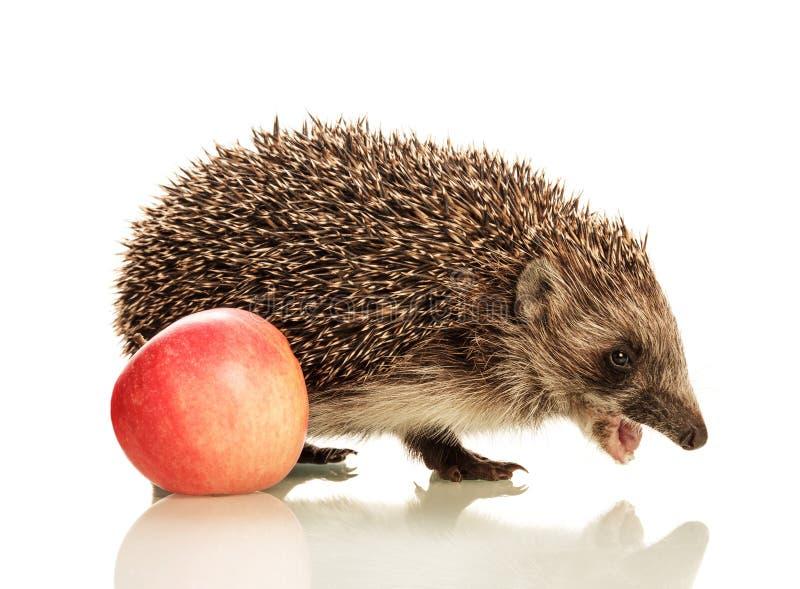 Schönes nettes kleines Igeles mit einem offenen Mund und einem Apfel stockfoto