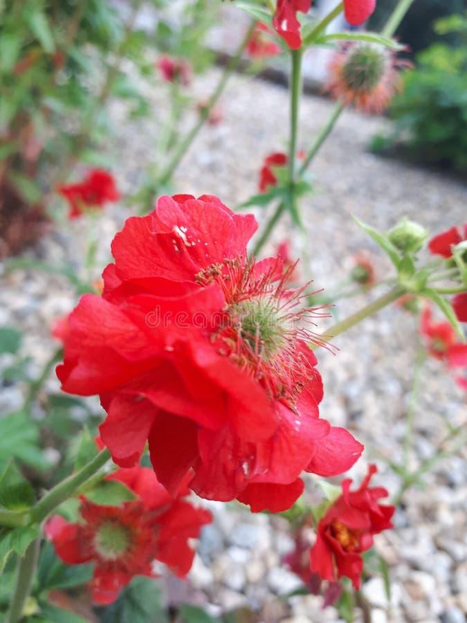 Schäbige rote Blumenblätter und Kegel stockbilder