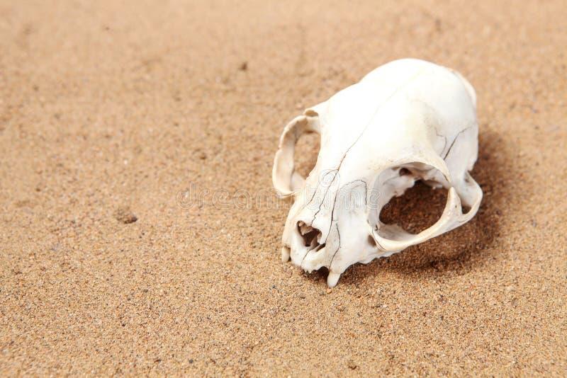 Schädel der Katze wird im Wüstensand halb-begraben stockfoto