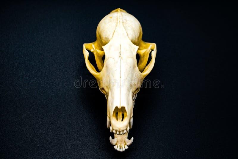 Schädel des weißen Fuchses, Hunde, auf einem schwarzen Hintergrund, Zähne stockfoto