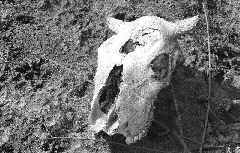 Schädel einer Kuh lizenzfreie stockfotos