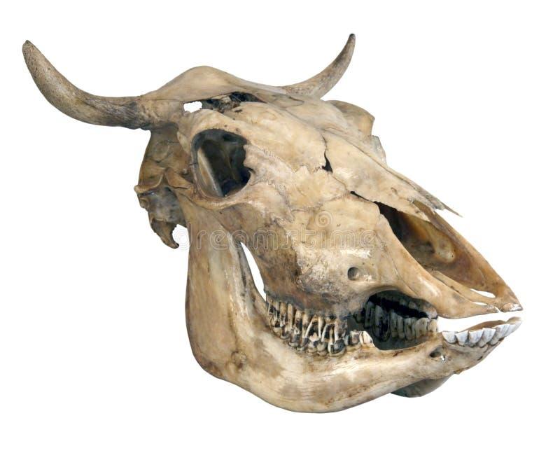 Schädel einer Kuh stockfoto