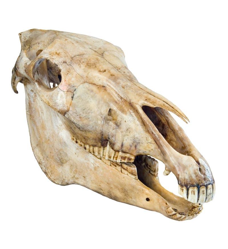 Schädel eines Pferds lizenzfreies stockfoto