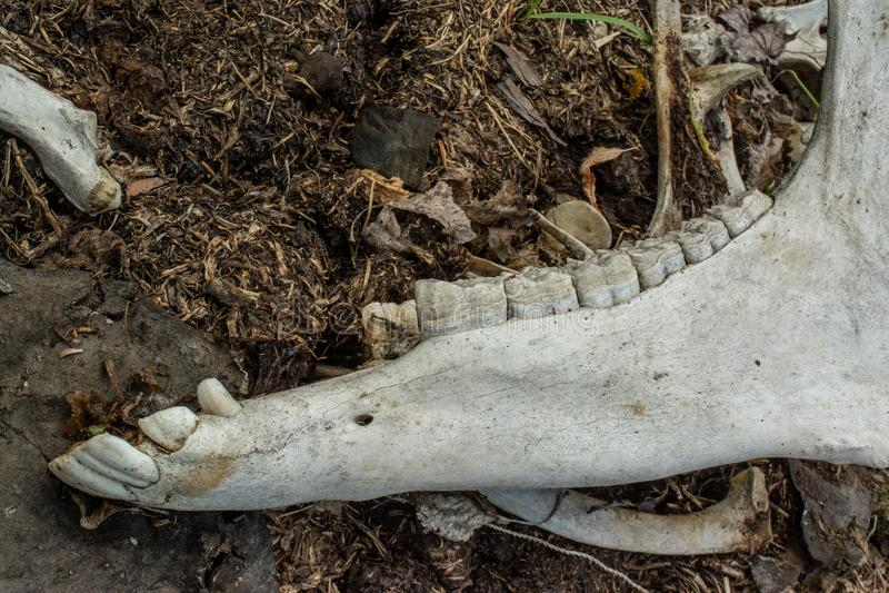 Schädel mit den Zähnen des Tieres an der verlassenen alten Rinderfarm in der Wüstung lizenzfreies stockbild