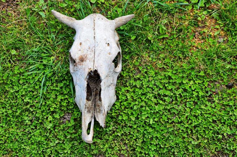 Schädel und Skelett einer Kuh eines Tieres stockfotos