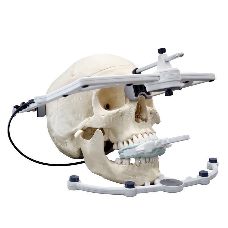 Schädelmodell für das Lernen der panoramischen zahnmedizinischen Fotografie des Röntgenstrahls lizenzfreies stockbild
