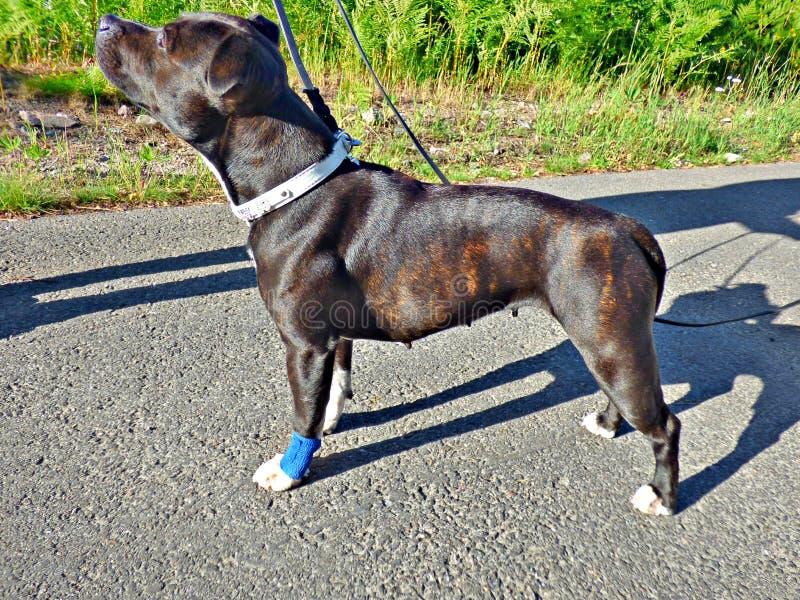 Schädigender Hund stockbilder