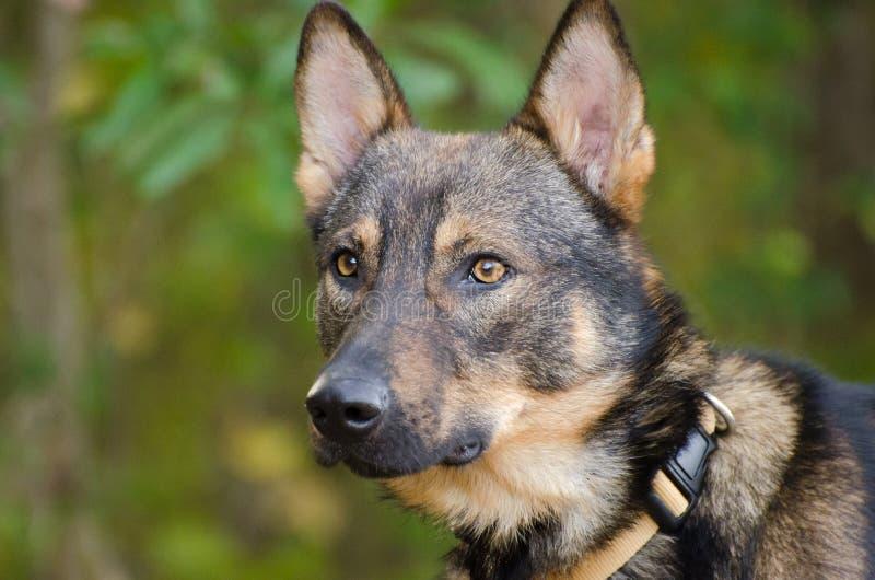 Schäfer Coyote Adoption Foto stockfotografie